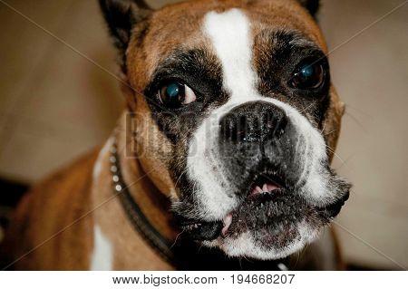 Happy Boxer, female (Nikki Lou) grinning dog