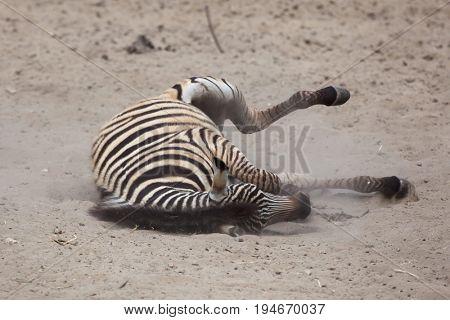 Chapman's zebra (Equus quagga chapmani) rolling in the dust.