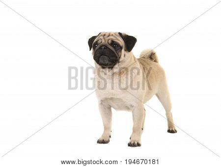 Standing adult pug glancing away isolated on a white background