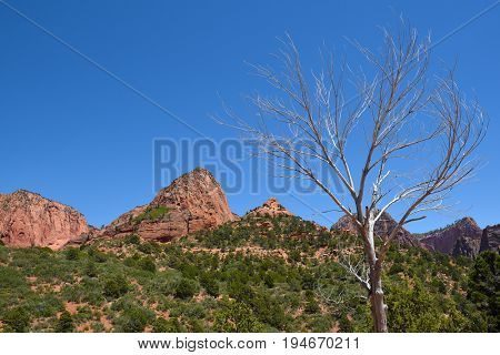 Dead tree in Kolob Canyons in Zion National Park, in the northwest corner of the park, narrow parallel box canyons are cut into the western edge of the Colorado Plateau.