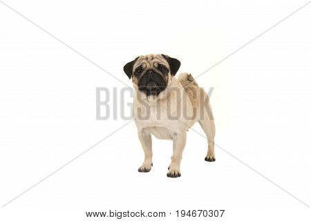 Standing adult pug looking at the camera isolated on a white background