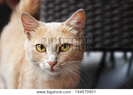 Close up Portrait of Beautiful Ginger Cat Outdoors