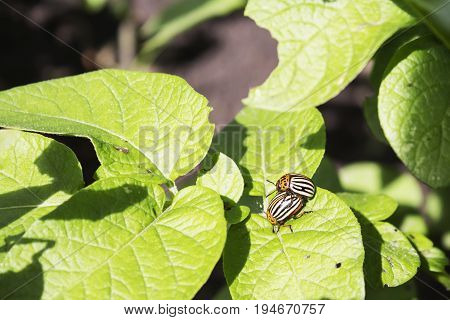 Colorado potato beetle eats potato leaves, close-up. two of the Colorado potato beetle love each other