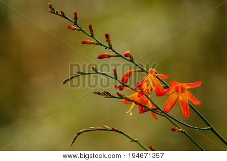 The fragile beauty of the mountain flowers is well expressed by orange mountain bell
