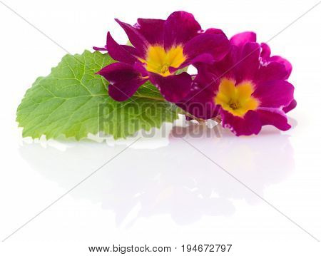 Two red flowers on a white background