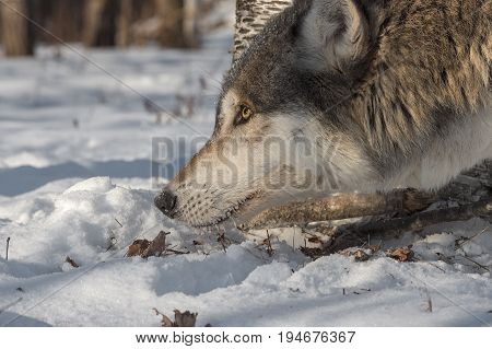 Grey Wolf (Canis lupus) Head to Ground - captive animal