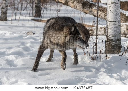 Black Phase Grey Wolf (Canis lupus) Turns Right - captive animal
