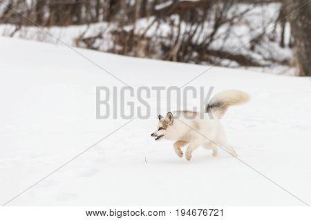 Red Marble Fox (Vulpes vulpes) Runs to Left - captive animal