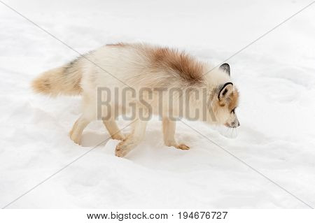 Red Marble Fox (Vulpes vulpes) Turns Right - captive animal