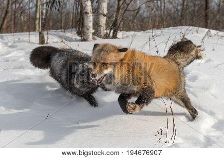Amber Phase Red Fox (Vulpes vulpes) Runs With Silver Fox - captive animals