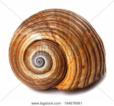 Seashell Of Very Large Sea Snail (tonna Galea Or Giant Tun)