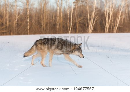 Grey Wolf (Canis lupus) Runs Right - captive animal