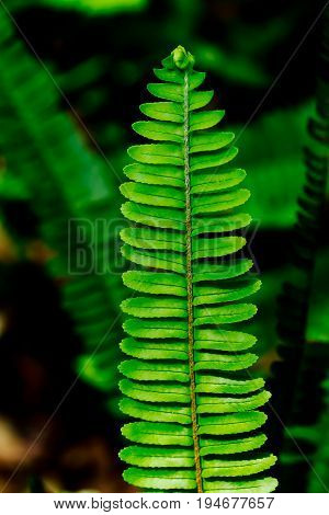 Fern Frond close up in rainforest showing details of leaves