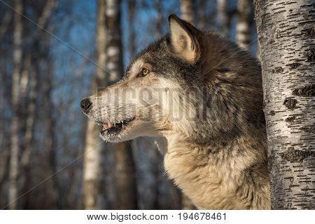 Grey Wolf (Canis lupus) Profile Mouth Open Left - captive animal