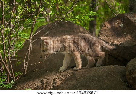 Grey Wolf (Canis lupus) Pup Walks Out of Rocks - captive animal