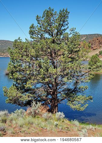 A rounded juniper tree on the shores of Prineville Reservoir in Central Oregon on a sunny summer day.