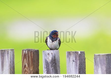 beautiful portrait of nice bird barn swallow sitting on an old wooden fence Sunny day