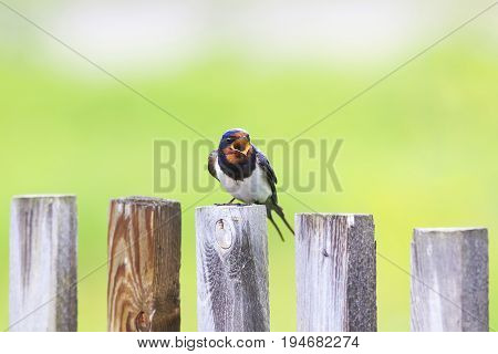nice bird barn swallow sitting on an old wooden fence and sings a song