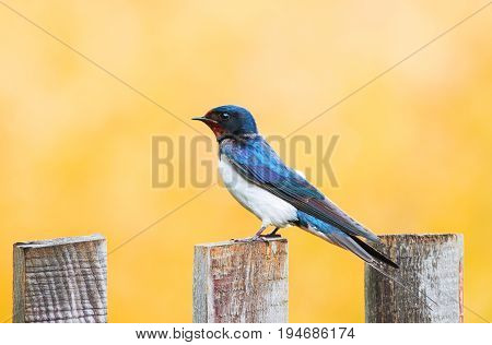 little funny bird the barn swallow is sitting on an old wooden fence on Sunny summer day
