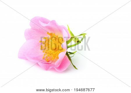 Dog rose; Rosa canina flower isolated on white background.