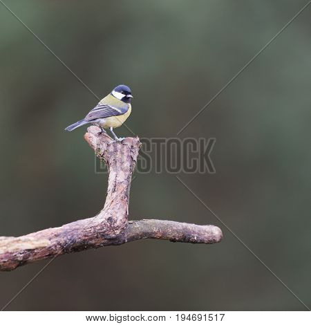 Great tit on tree branch