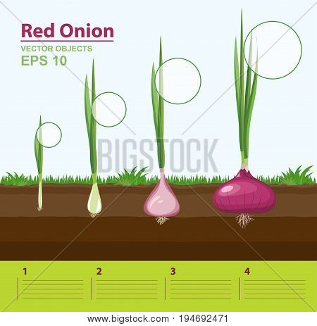 Vector illustration. Phases of growth of a red onion in the garden. Growth stage. Infographic concept