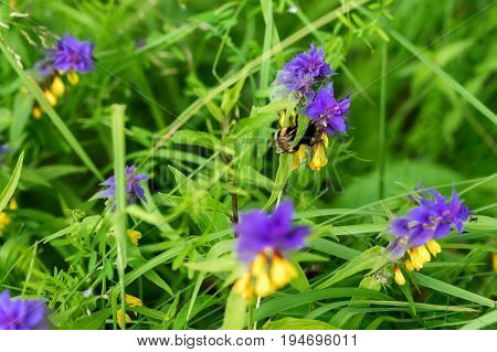 Melampyrum flower, Melampyrum nemorosum , union of two herbaceous plants, whose flowers have two distinctively bright colors, yellow and purple. Bumblebee on a flower. Concept of seasons, ecology, natural green pharmacy,