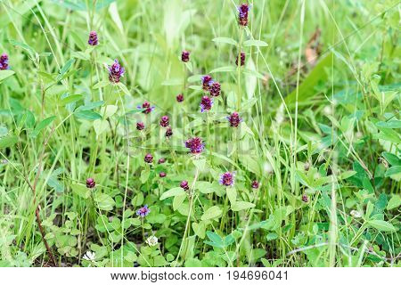 Natural background from cute purple wild flowers on summer green meadow. Summer day after rain. Concept of seasons, ecology, green planet, Health, natural green pharmacy, perfumery