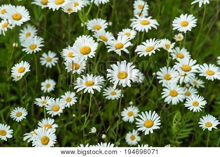Close-up part of beautiful wild daisys flowers in wind. Summer day after rain. Concept of seasons, ecology, green planet, Health, natural green pharmacy, perfumery