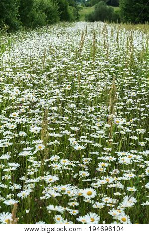 Sea of daisies on the edge of the forest . Beautiful wild flowers. Sunny summer day. Concept of seasons, ecology, green planet, Health, natural Green pharmacy, perfumery