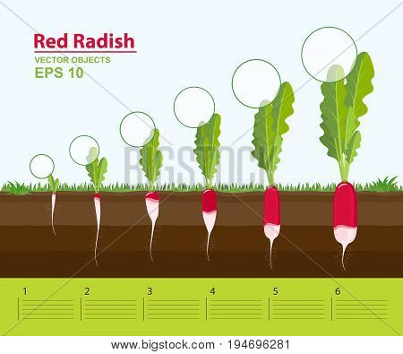 Vector illustration. Phases of growth of a red radish in the garden. Growth development and productivity of red radish. Growth stage. Distance between plants. Infographic concept