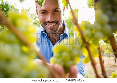 Smiling young man touching grapes at vineyard
