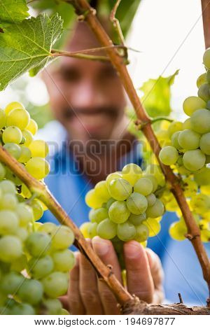 Close-up of man touching grapes at vineyard