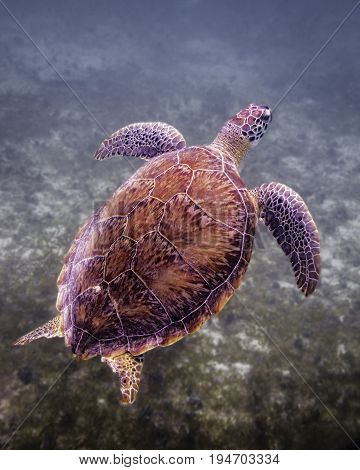 Green sea turtle coming up for air while eating sea grass at the bottom of the bay in St John USVI
