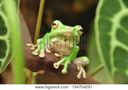 A tree frog sits quietly looking over its territory.