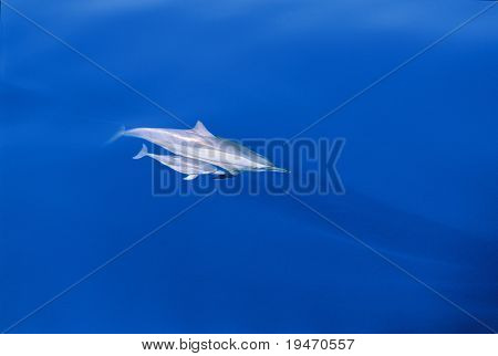 Mother and baby dolphins
