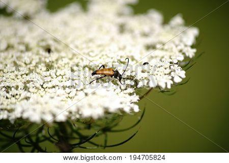 A longhorn beetle Stictoleptura fulva eats on a blossom.