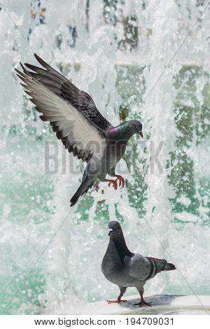 City pigeons by the side of water at a fountain