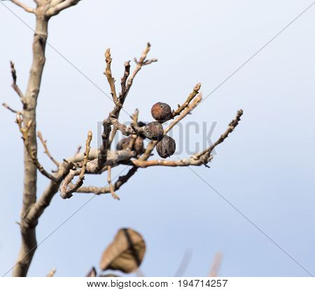 walnut tree with bare branches . A photo