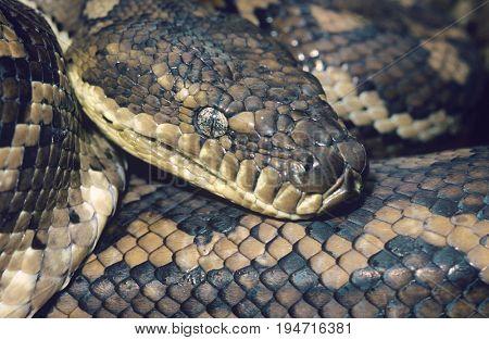 Carpet Python close-up