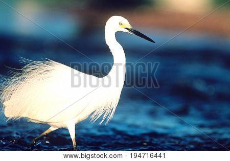 White Egret wading in water