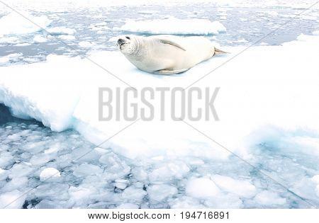 Fur Seal lying on ice flow