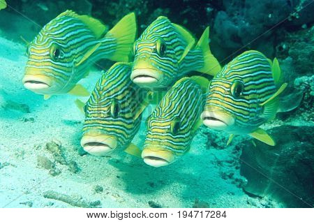 Raja Ampat, Indonesia, Pacific Ocean, oriental sweetlips (Plecorhinchus orientalis) just above ocean floor