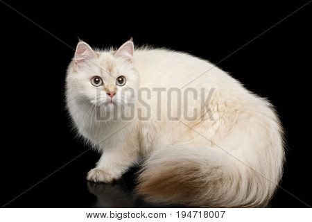 British breed Cat White color-point with magic Blue eyes and Furry tail Crouch on Isolated Black Background