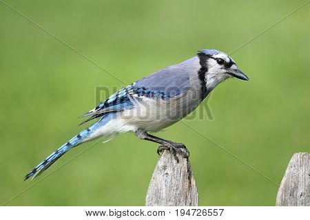 Blue Jay (corvid cyanocitta) with a colorful background