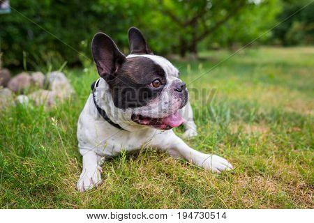 French bulldog lying down in the garden