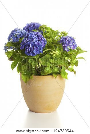 Blooming blue Hydrangea plant in flower pot isolated on white background