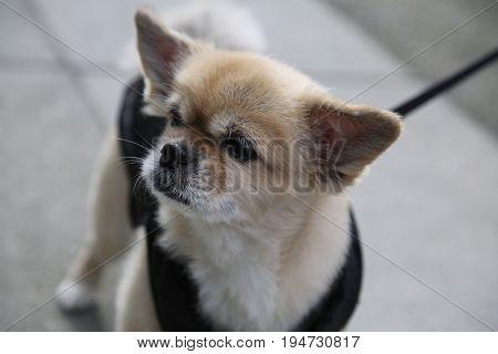 Cute small dog  big ears beige colour leash