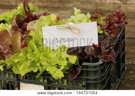 Fresh raw lettuce packed in plastic box ready to sell .