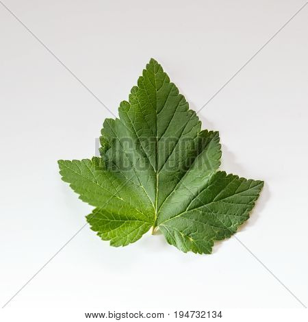 Green leaf of black current berry on white background